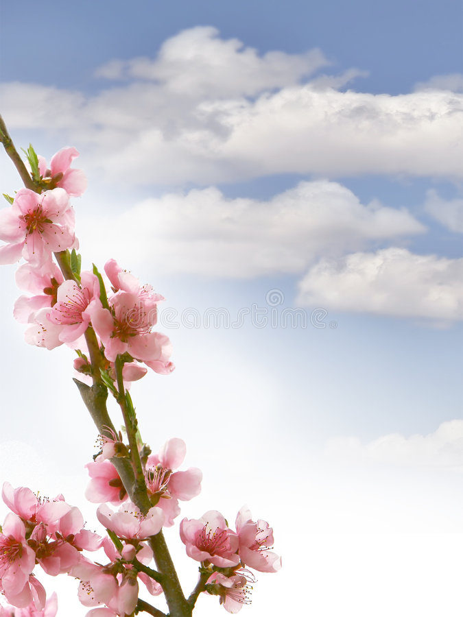 Download Peach Branch With Flowers Royalty Free Stock Photo - Image: 5411445