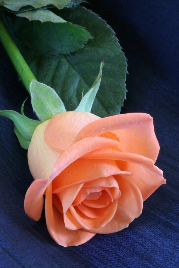 Download Peach Colored Rose stock image. Image of rose, flora, feminine - 1399153