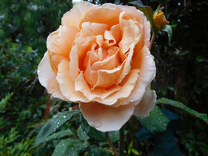 Peachy Rose royalty free stock image