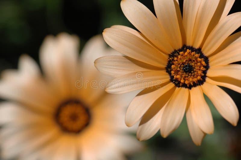 Peach daisy flower stock photography