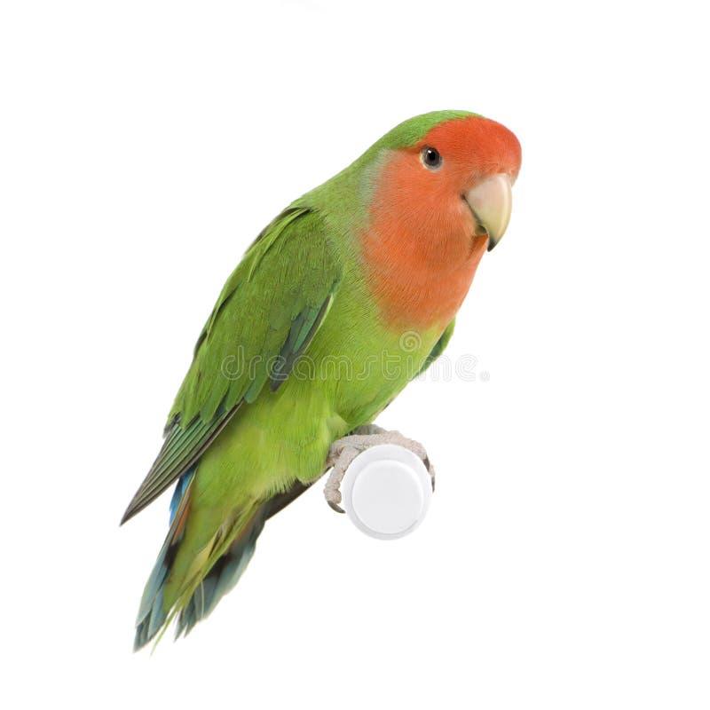 Peach-faced Lovebird stock photo