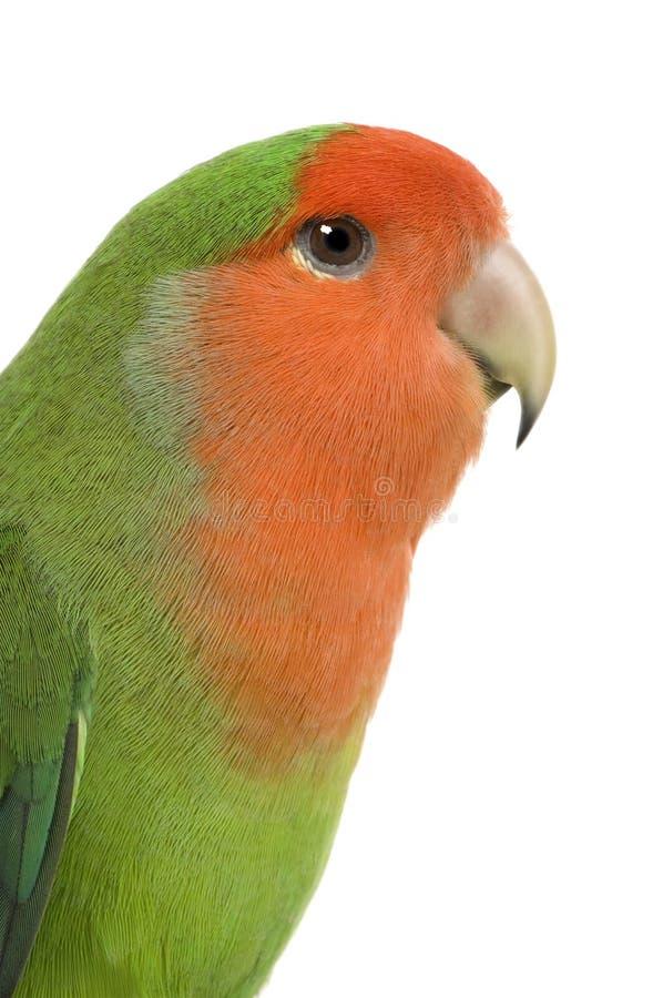 Peach-faced Lovebird Royalty Free Stock Photo