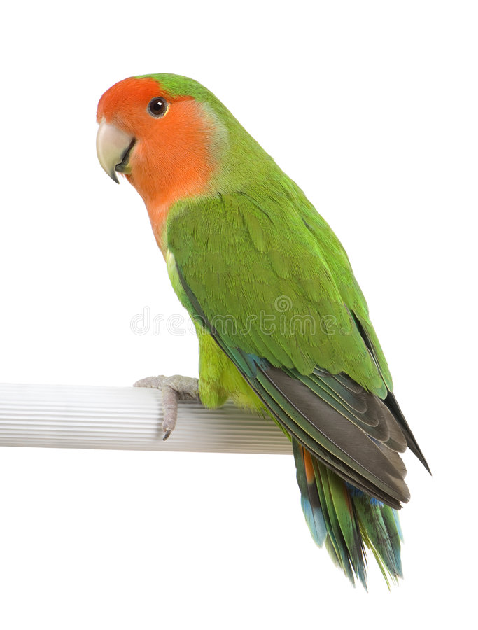 Peach-faced Lovebird - Agapornis roseicollis stock image