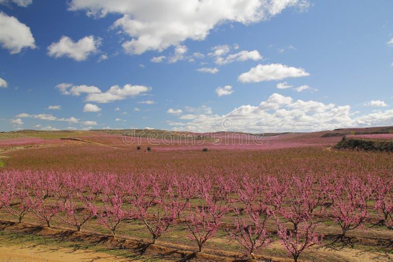 Peach fields in pink stock photo