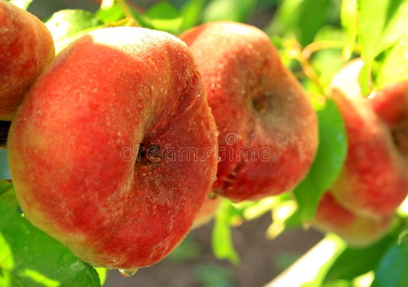 Peach fig, which has a very delicate and pleasant taste, as well as high winter hardiness. royalty free stock photos