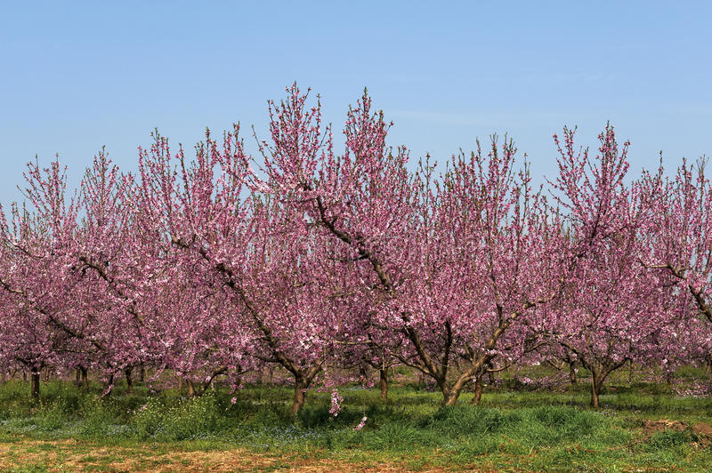 Download Peach flower stock image. Image of food, agriculture - 24099843