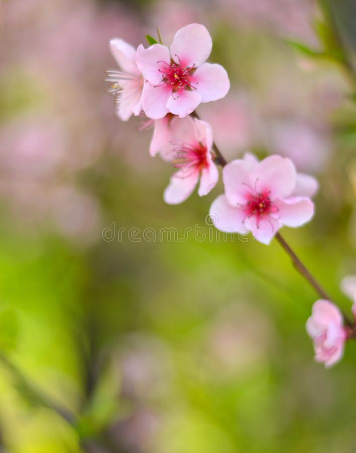 Peach flower with bokeh stock photo