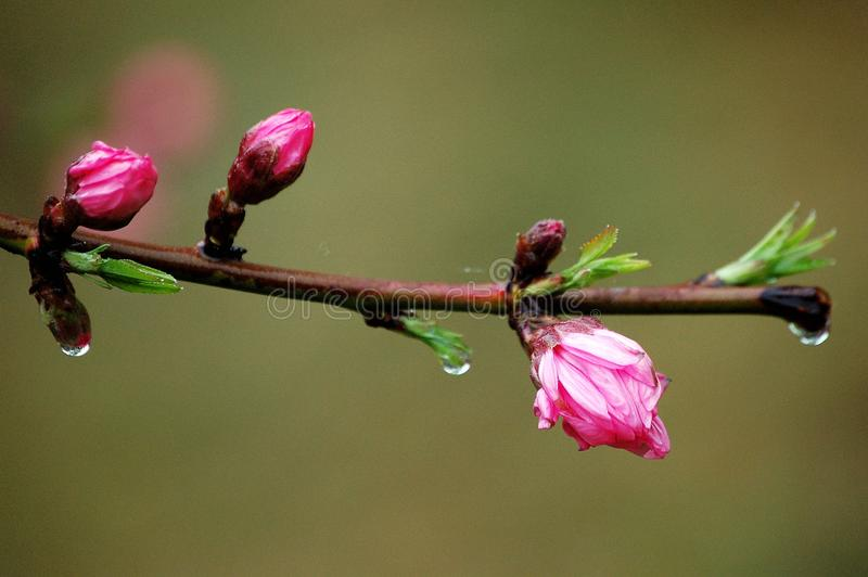 Peach flower buds after rain royalty free stock photo