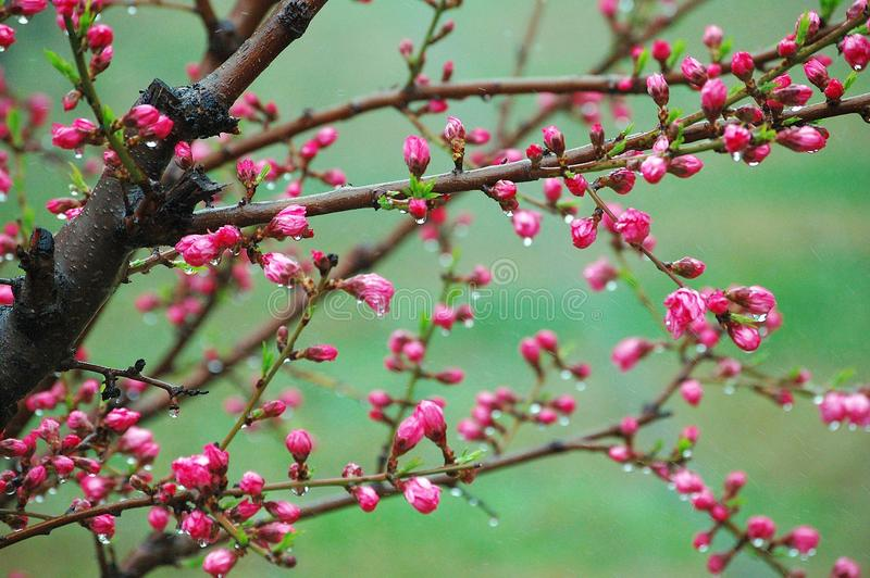 Peach flower buds after rain royalty free stock photos