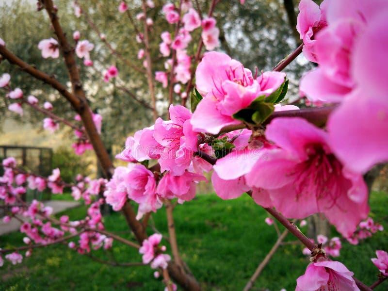 Peach flower royalty free stock photo