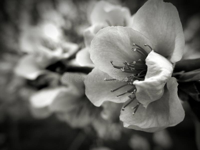 Peach flower stock photos