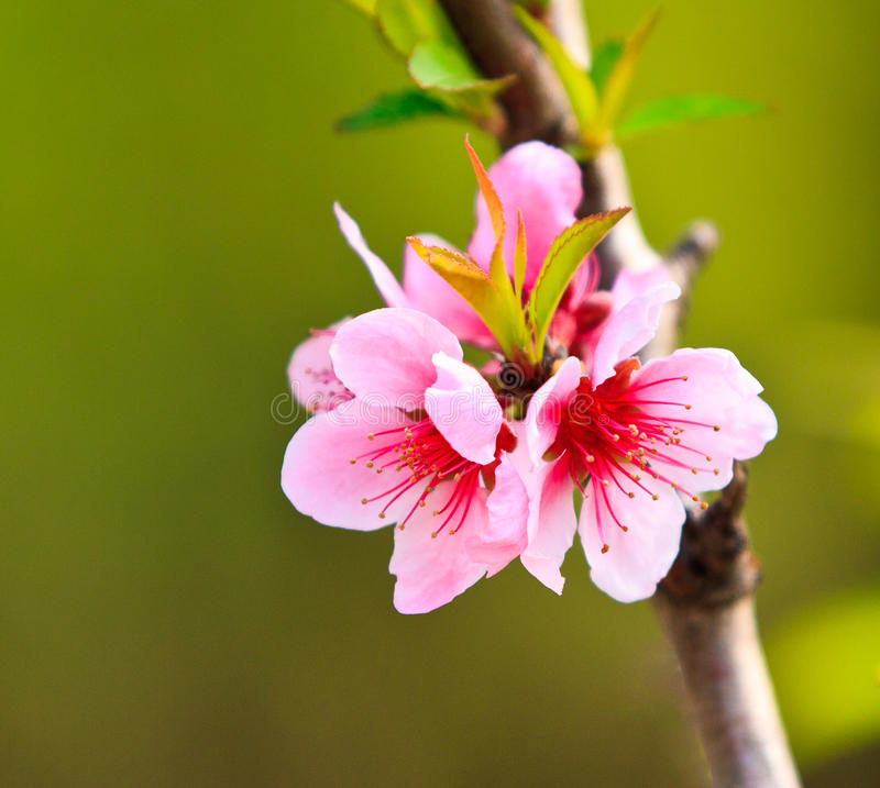 Download Peach flowers stock image. Image of beautiful, abstract - 20265587