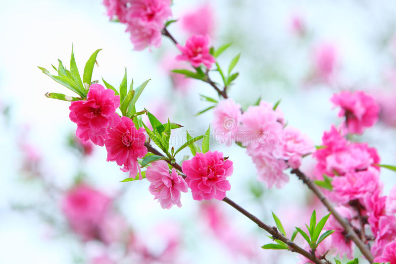 Spring peach flowers royalty free stock photography