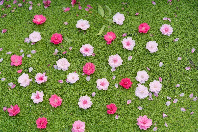 Peach Flowers Fall On Duckweed Floating On Water Surface Peach