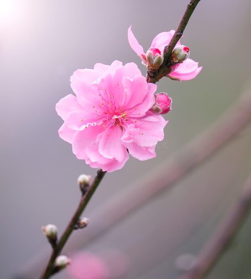 Peach flowers in garden stock photography