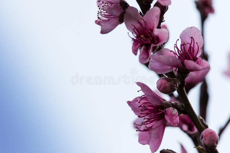 Peach flowers royalty free stock photography