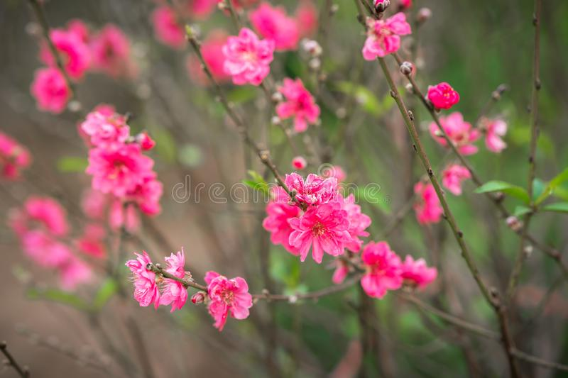 Peach flowers, the symbol of Vietnamese lunar new year.  royalty free stock image