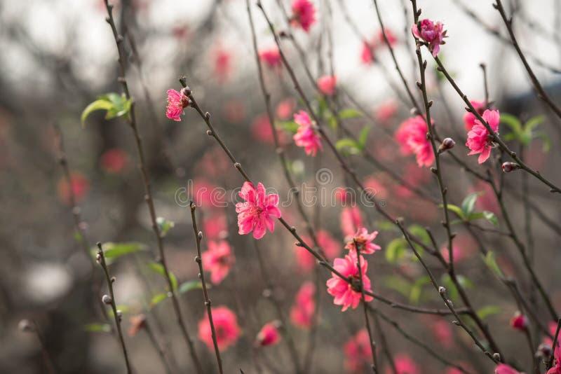 Peach Flowers, The Symbol Of Vietnamese Lunar New Year ...