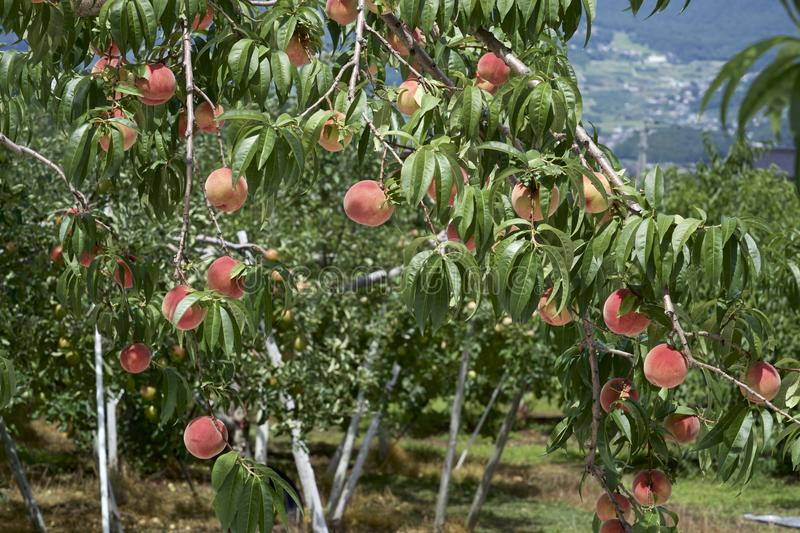 Peach of fresh orchard. royalty free stock photography