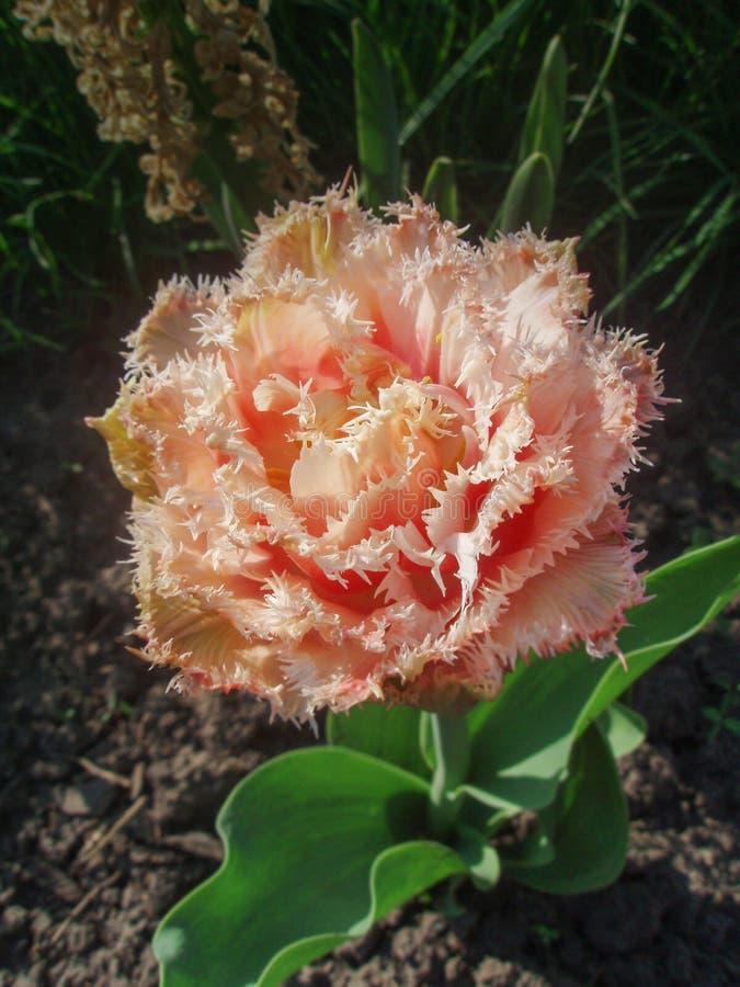 Peach fringed tulip in garden stock image