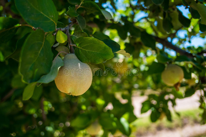 Peach Fruit hanging on a tree in Mendoza Argentina. Nature image withPeach Fruit hanging on a tree in focus and foliage in Mendoza Argentina stock photos