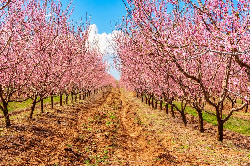 Peach fruit tree branches during flowering with flowers stock photography