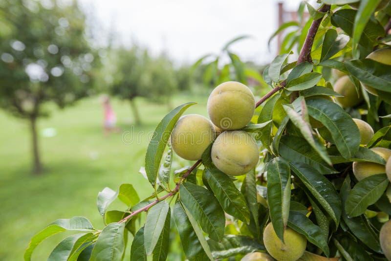 Peach fruit on tree stock photo