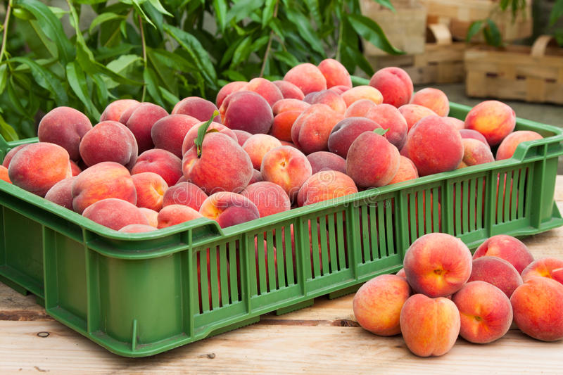 Download Peach fruits stock photo. Image of sweet, juicy, green - 33360250