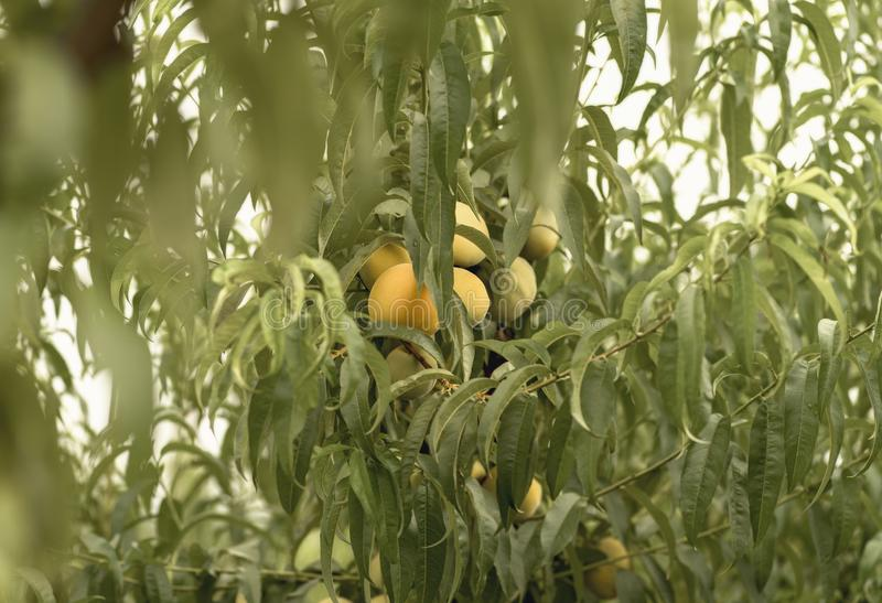 Peach fruits among the leaves of the tree royalty free stock photos