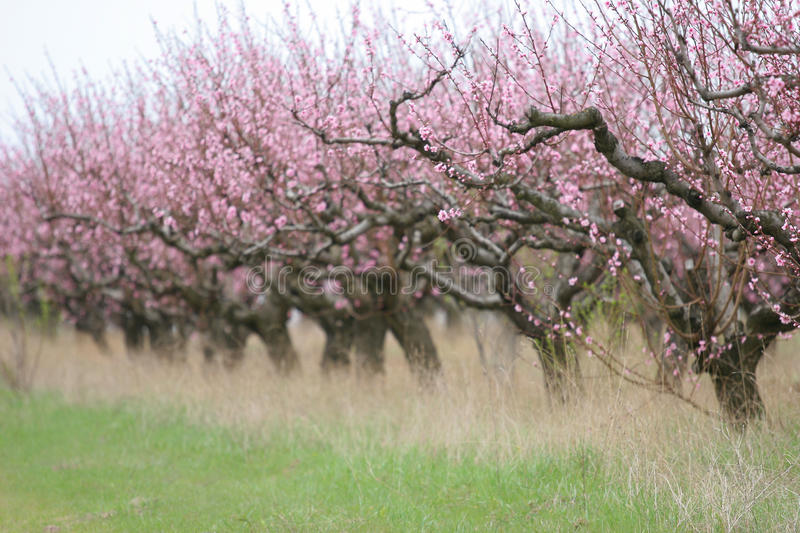 Download Peach garden stock photo. Image of tree, flora, earth - 10070448