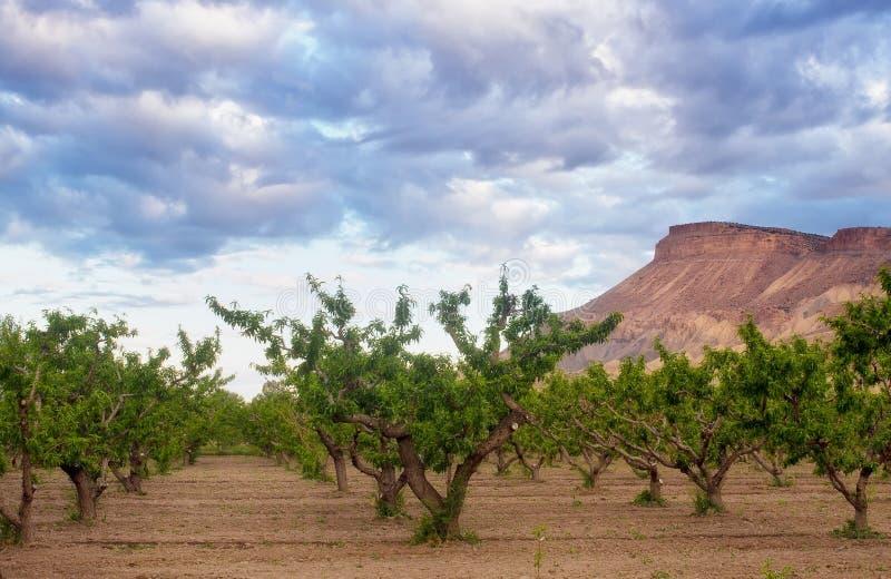 The Peach Groves of Palisades Colorado stock photos