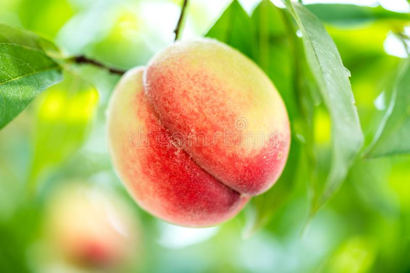Peach. Hanging the peach fruit trees stock photography