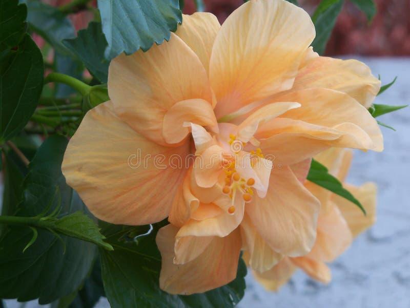 Peach hibiscus flower up close. Multi-petaled Peach colored hibiscus flower up close royalty free stock image