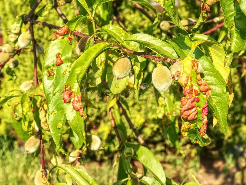 Peach leaves with leaf curl Taphrina deformans disease. stock photo