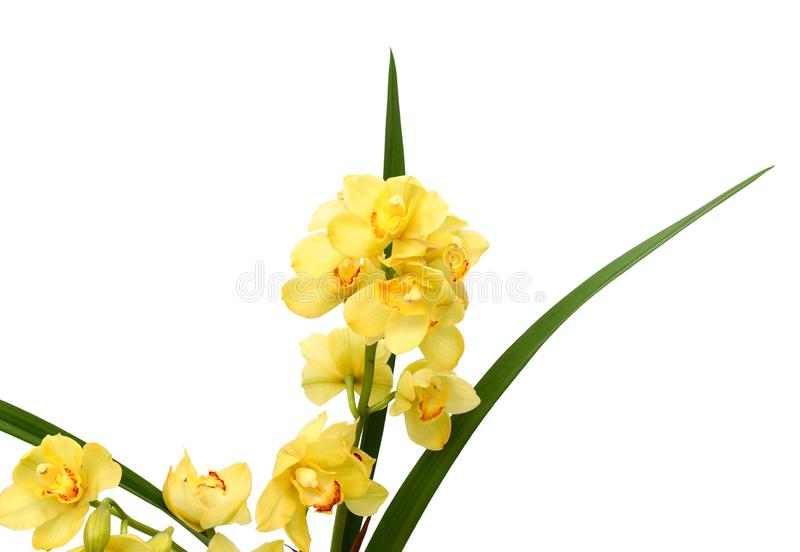 Peach Phalaenopsis orchids close up. Peach Moth orchids close up. Fresh, bouquet royalty free stock images