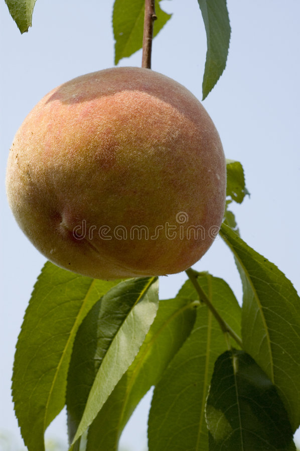 Free Peach On The Tree Royalty Free Stock Image - 219756