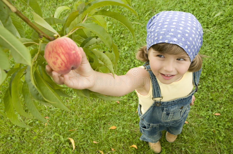 Peach orchard. Little girl picking straw peach royalty free stock photography