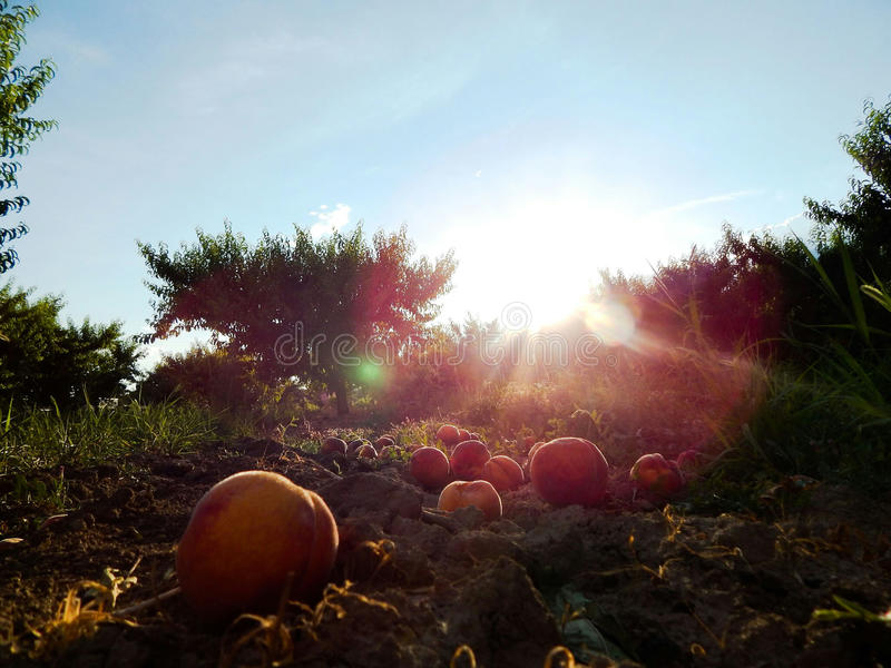 Peach orchard stock photography