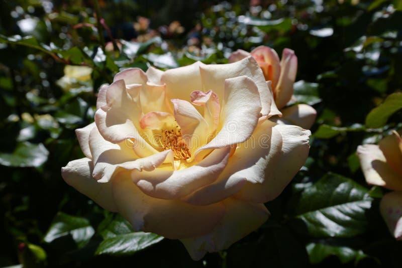Peach Perfection Rose Free Public Domain Cc0 Image
