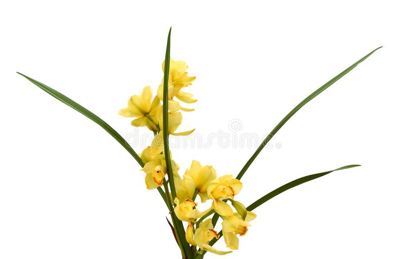 Peach Phalaenopsis orchids close up. Yellow Phalaenopsis orchids and buds close-up stock photo