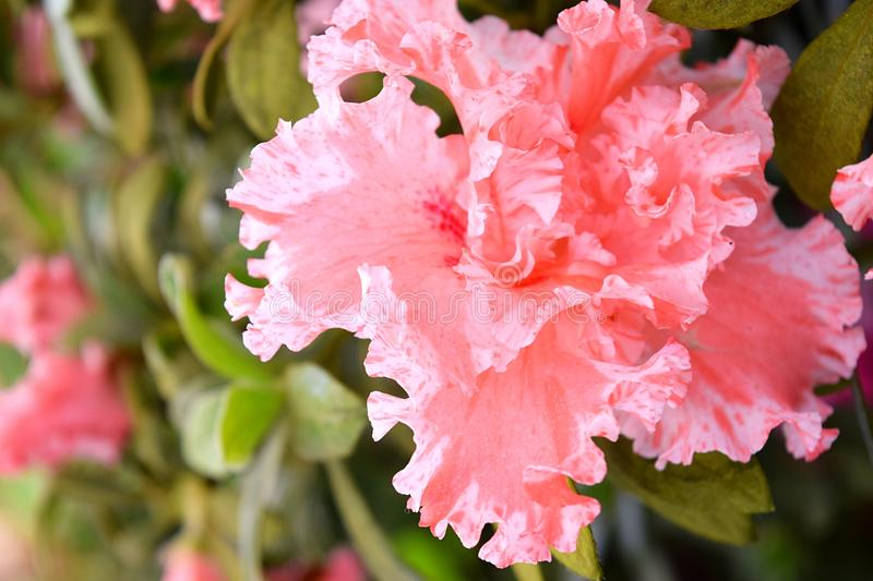 Peach Pink Flower with Abstract Pattern and Shape - Azalea Indica Simsii - Rhododendron stock image