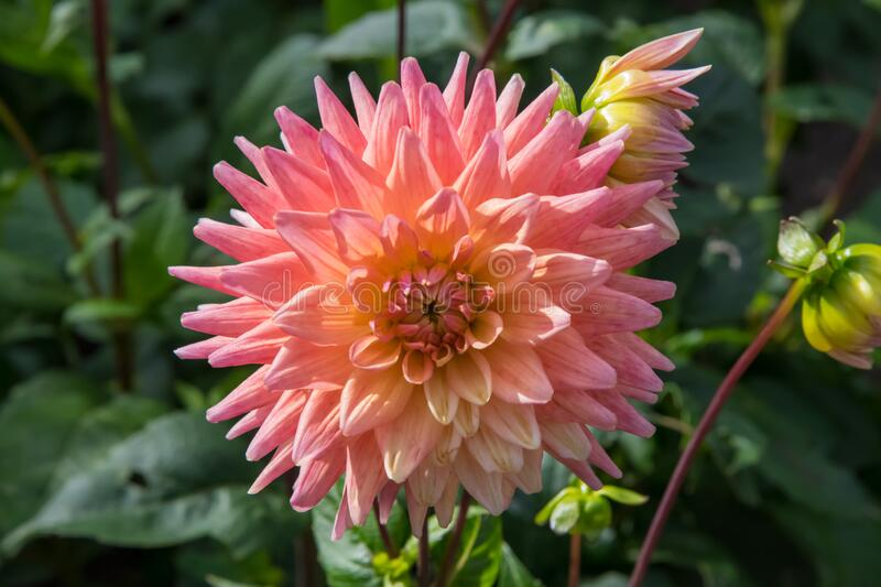A peach, pink and yellow dahlia flower in autumn. A close up of a beautiful and intricate peach, pink and yellow Dahlia flower growing in a cottage garden in royalty free stock images
