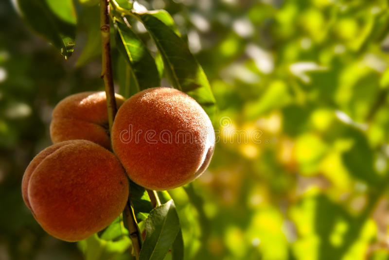 Download Peach stock photo. Image of crop, sweet, beautiful, branch - 32977328