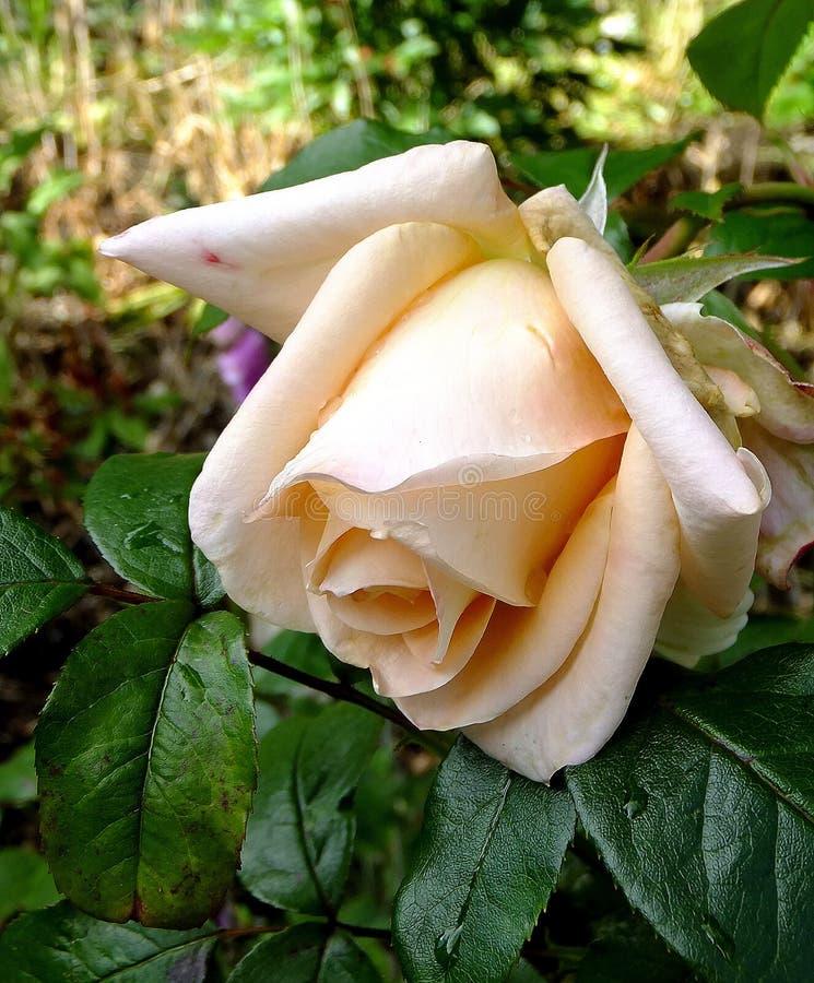 Peach rose royalty free stock image