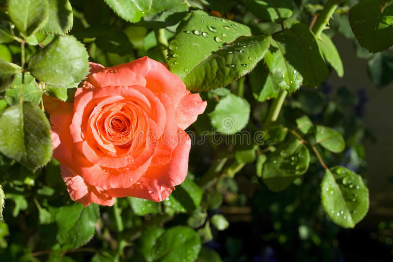 Download Peach Rose Close-up stock image. Image of flower, summer - 12371843