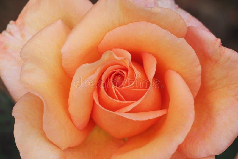 Peach Rose Close-up stock photos