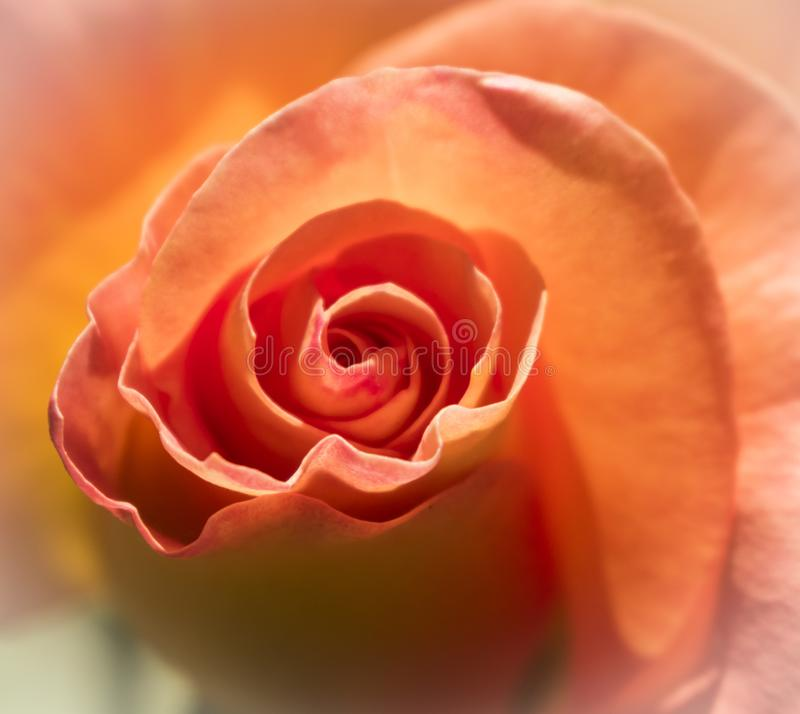 Peach Rose from local Botanic Gardens royalty free stock photography