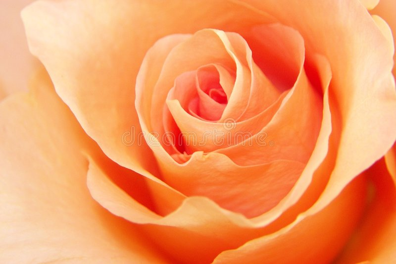 Download Peach Rose Love stock image. Image of detail, flower, love - 202479