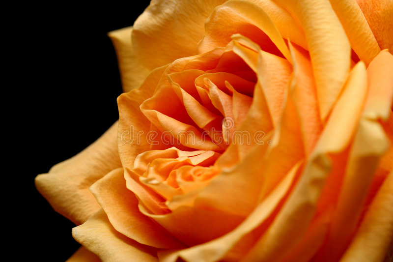 Peach rose over black stock photo