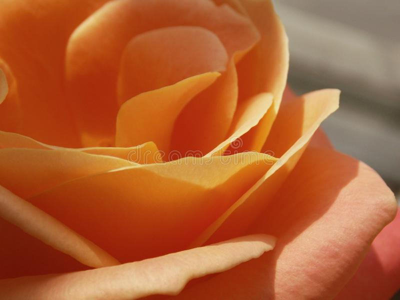 Peach Rose royalty free stock images